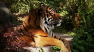 Tiger profile Stock Footage