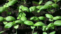 small basil plants - stock footage