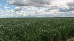 Wheat field and sky-rising Stock Footage