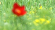 Stock Video Footage of Fine red flower in the field. On it the Bee sits