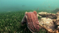 Australian Giant Cuttlefish HD Stock Footage