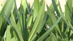 Ladybugs on Tree Stock Footage