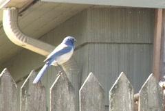 Blue Jay Bird Flys Away Arkistovideo