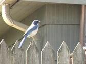Blue Jay Bird Flys Away Stock Footage