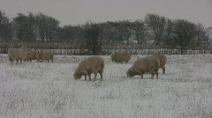 Romney SHEEP in Snow Storm Stock Footage