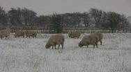 Stock Video Footage of Romney SHEEP in Snow Storm