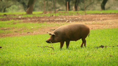 Pigs - stock footage