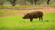 Stock Video Footage of Pigs
