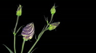 Time-lapse of blooming japanese rose (eustoma) 4 with ALPHA matte Stock Footage