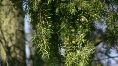 juniper berry on a branch - stock footage