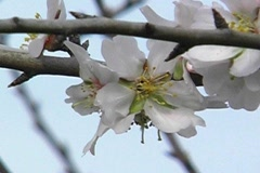 Almond Blossoms Stock Footage