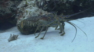 Stock Video Footage of Lobster walking p2