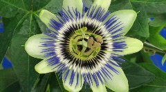 Time-lapse of closing passiflora 4 against blue background Stock Footage