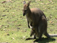 Baby kangaroo in pouch Stock Footage