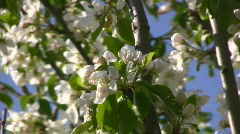 Spring Crab Apple Tree Flower Blossom Blowing In The Breeze Stock Footage