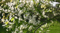 White Crab Apple Spring Tree Flower Blossom Stock Footage
