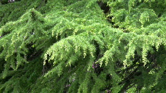 Conifer Needle Branch. Stock Footage