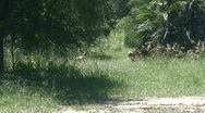 Malawi: impala in a wild 3 Stock Footage