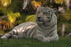 White Tiger relaxes in a grassy clearing - stock footage