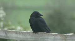 Carrion Crow on fence scratches face Stock Footage