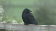 Stock Video Footage of Carrion Crow on fence scratches face