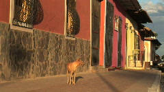 Dog passes by colorful buildings Granada, Nicaragua Stock Footage