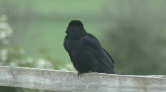 Carrion Crow on fence turns Stock Footage