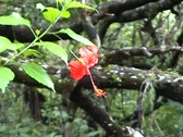 Stock Video Footage of Red hibiscus