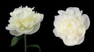 Time-lapse of dying white peony 5d isolated black two cameras Stock Footage