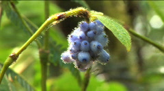 Berry flower on volcano Maderas in Nicaragua Stock Footage