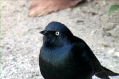 BlackBird - stock footage