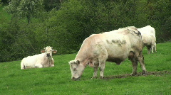 Stock Video Footage of Cows chewing the cud in open green pasture.