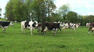 Stock Video Footage of Gossiping cows
