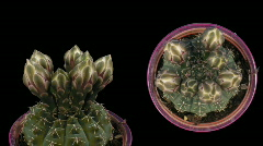 Time-lapse white cactus opening 6d isolated black two synchronised cameras Stock Footage