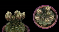 Stock Video Footage of Time-lapse white cactus opening 6d isolated black two synchronised cameras
