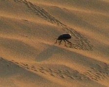 Black beetle in sand desert Stock Footage