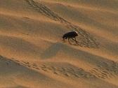 Black beetle in sand desert Stock Footage