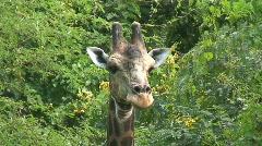 Malawi: giraffe in a wild 8a Stock Footage