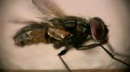 Macro fly cleaning loop  (side view) Stock Footage