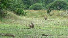 Malawi: monkeys in a forest 1 Stock Footage