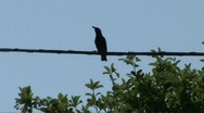 Starling on wire Stock Footage
