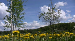 Field of dandelion (Sow-thistle) plants 5 Stock Footage