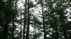 Tall pines swaying in the wind  Stock Footage