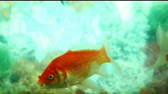 Goldfish swim in a tank Stock Footage