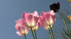 Sunlit pink tulips blowing in the wind Stock Footage