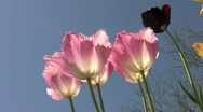 Stock Video Footage of sunlit pink tulips blowing in the wind