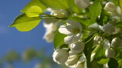 Apple-tree blossoms 4 Stock Footage