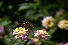 Butterfly gathering nectar on flower Stock Footage