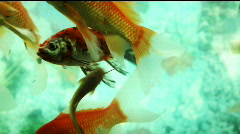 Goldfish Stock Footage