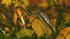 Wine leaf in backlight Stock Footage